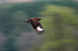 Dullstroom Longcrested-Eagle