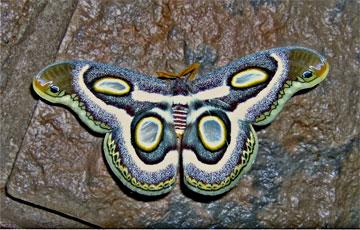 Dullstroom Moth
